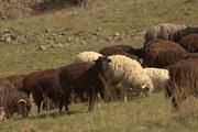 баранны,  коровы,  овны,  козы