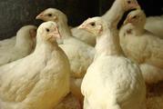 Кормовая добавка GFO для домашней птицы