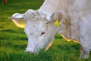 Кормовая добавка для Коровы,  телята,  КРС